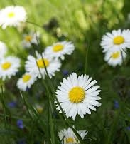 Daisy Blossom - ...is known as a healing plant packed with benefits for skin. ...is labeled as Bellis Perrennis, meaning everlasting beauty....naturally supresses the production of melanin....is great for sensitive skin types.