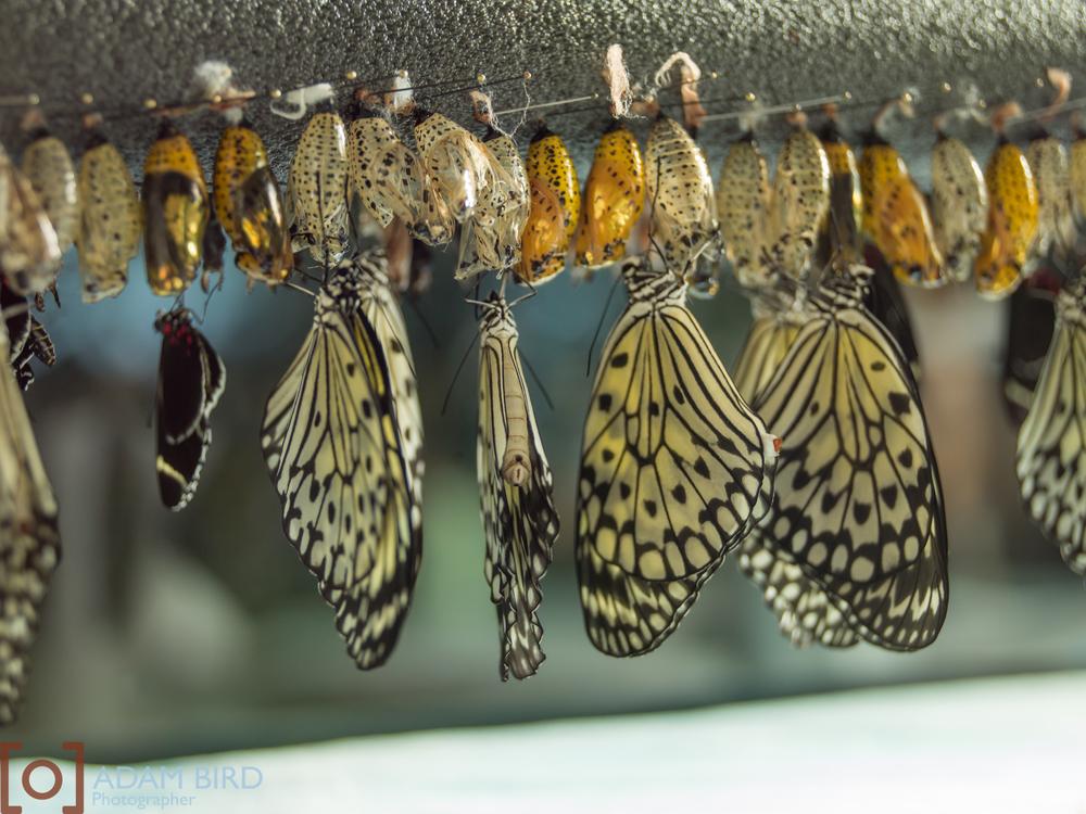 frederik_meijer_butterflies017.JPG