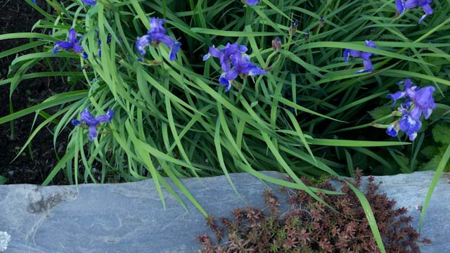 iris, wall & sedum.jpg