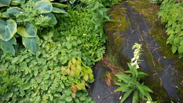 mossy walkway & epimedium.jpg