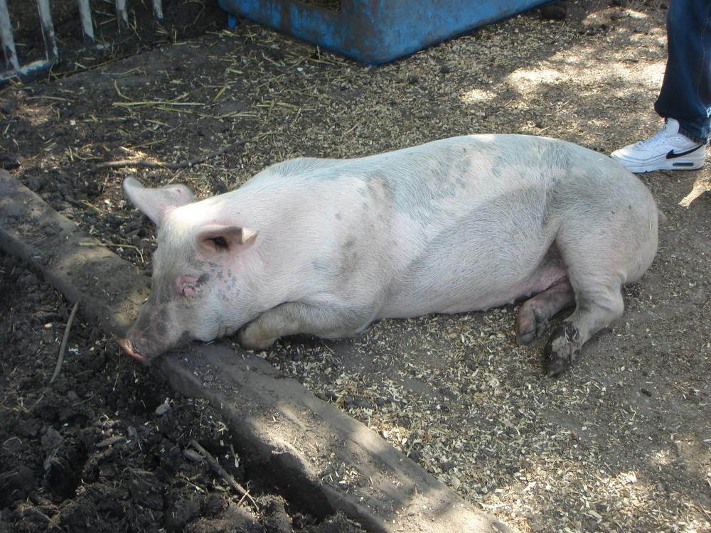 1022 - Varken Porkie