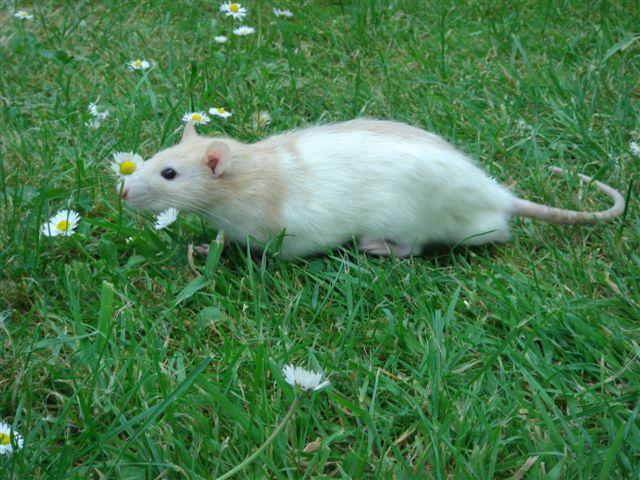 1021  - Rat Bill