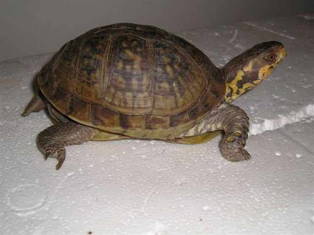 745 - Roodwangwaterschildpad
