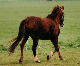 518 - Paard - Newforrest