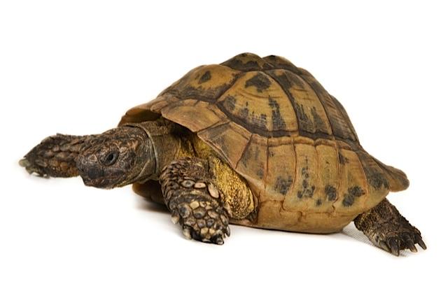 6021 - Arthur (Schildpad)