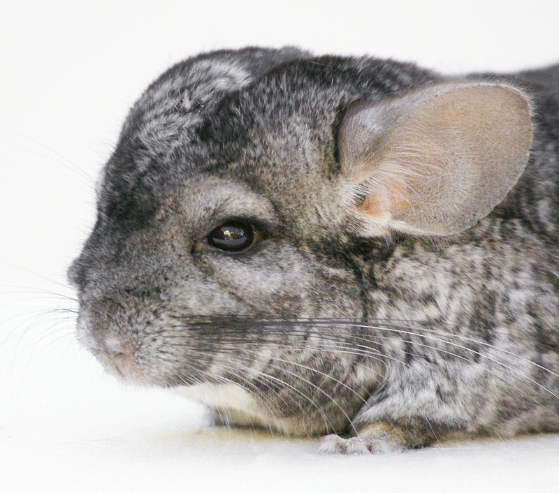 2009 - Chinchilla
