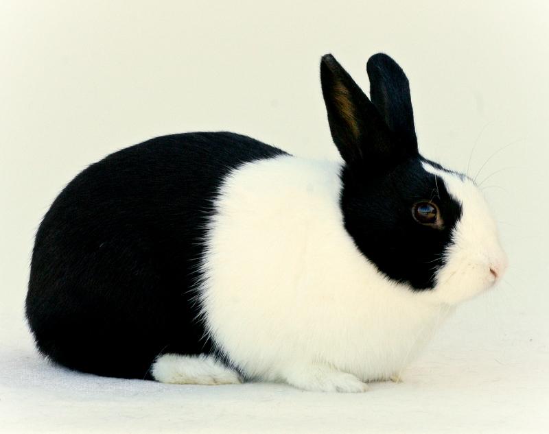 2009 - Wit konijn