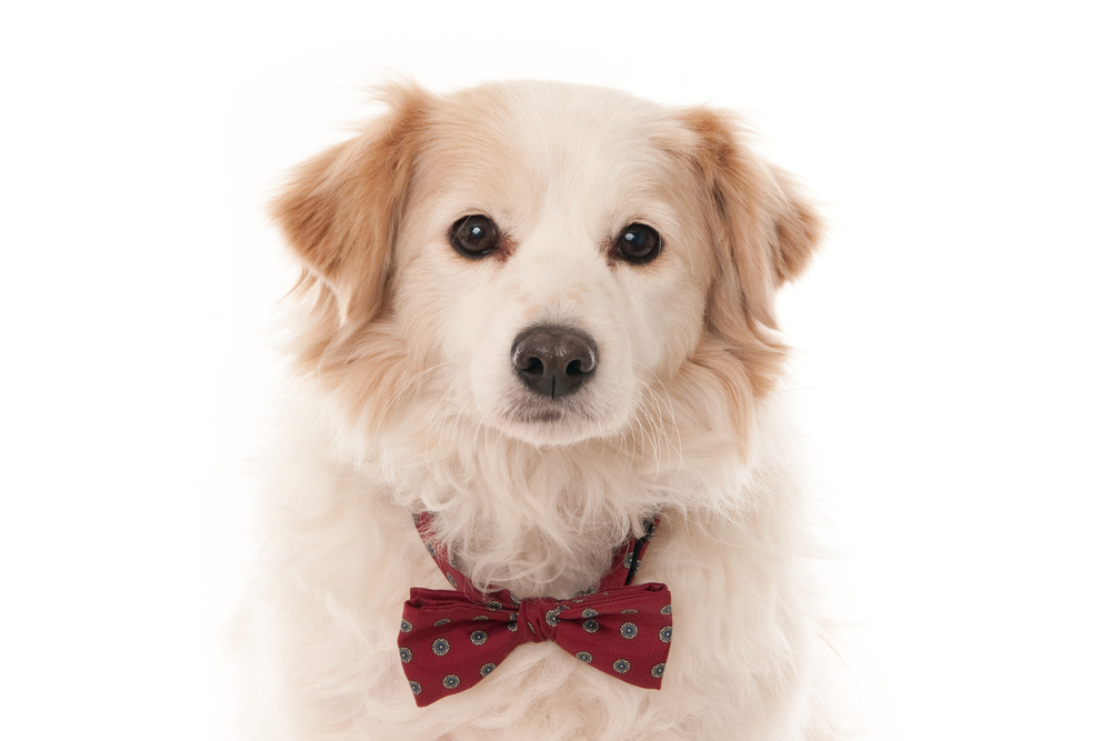 Dog with bow tie isolated on white (1 of 1)-2.jpg