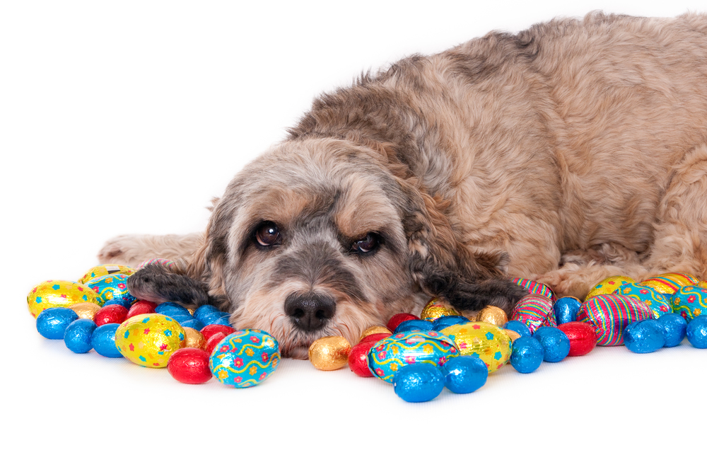 Portrait of a dog with colored Eastern eggs, isolated on white (1 of 1).jpg