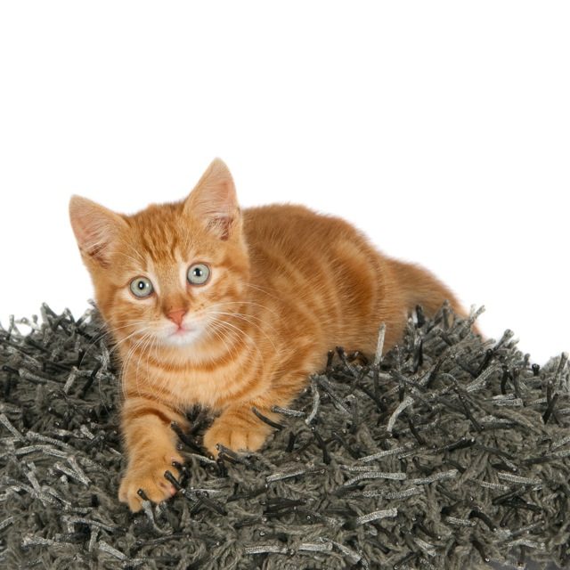 Ginger kitten on a grey and black pillow (1 of_1).jpg