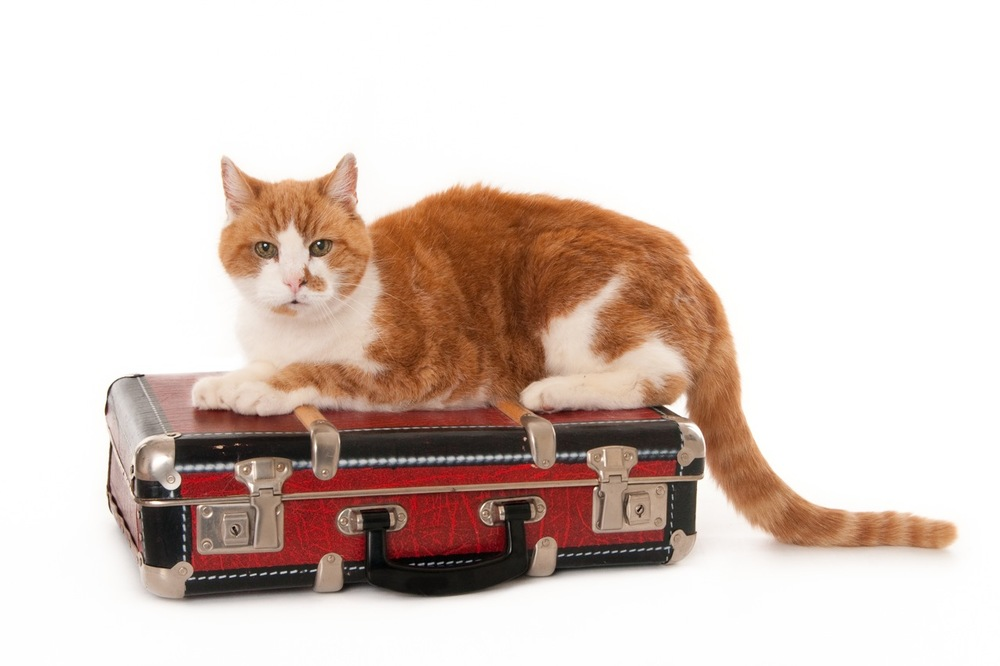 Senior ginger-white cat, sitting on a suitcase, isolated on white (1 of 1).jpg