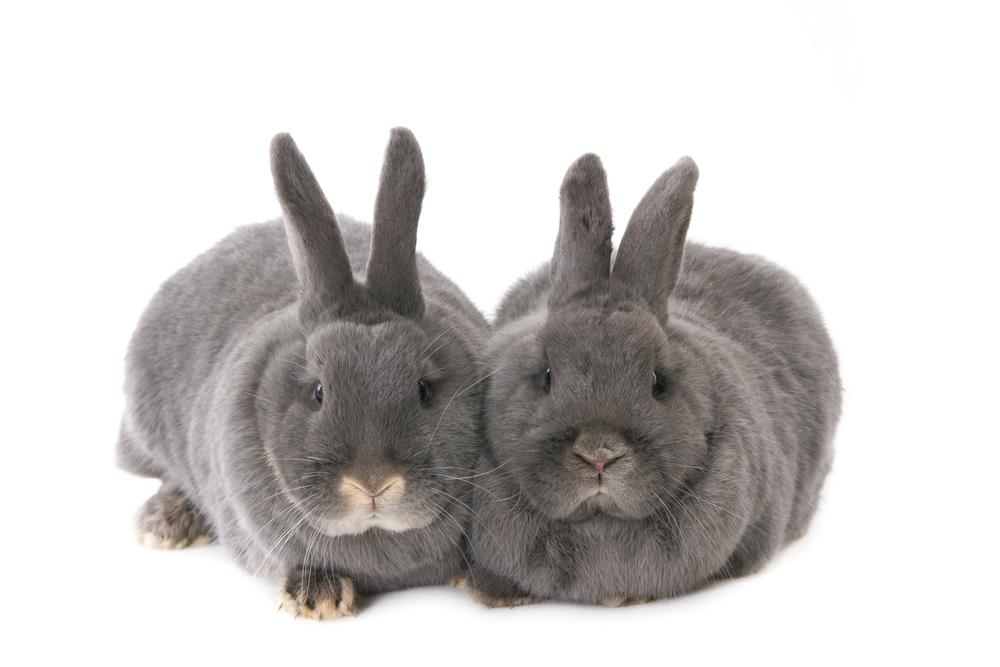 20000-grijze konijnen