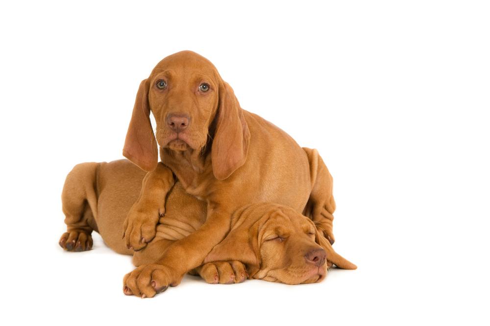 Magyar Vizsla puppy friends (1 of 1).jpg