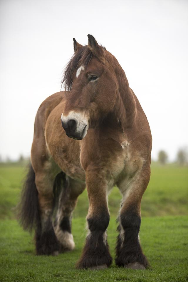 Trekpaard-11100-Jos