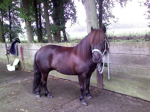 Shetland pony-11103-Prisca