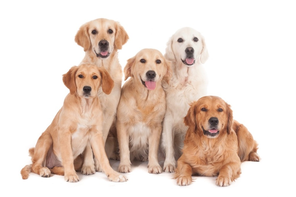 gh-11179-Golden Retrievers