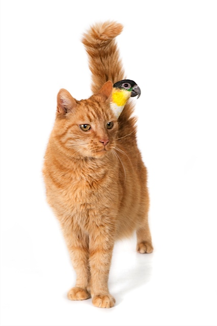 Ginger cat with a noble parrot on his back. On white.jpg