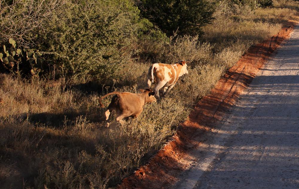 texas running cows