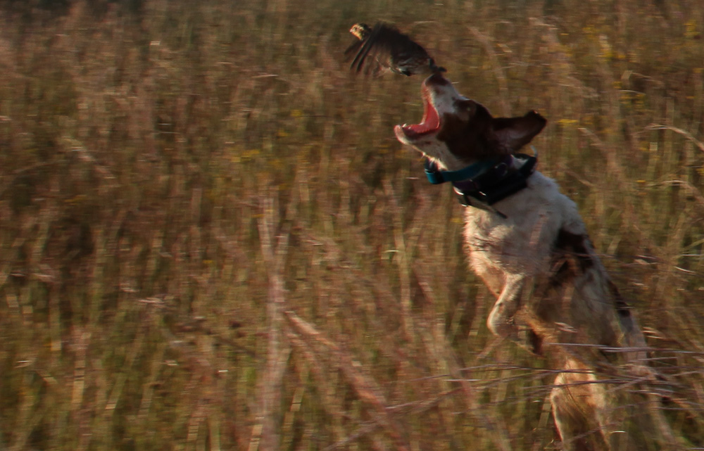 dog and quail
