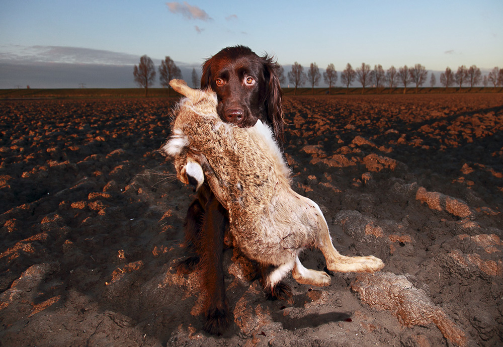 hunting dog with hare