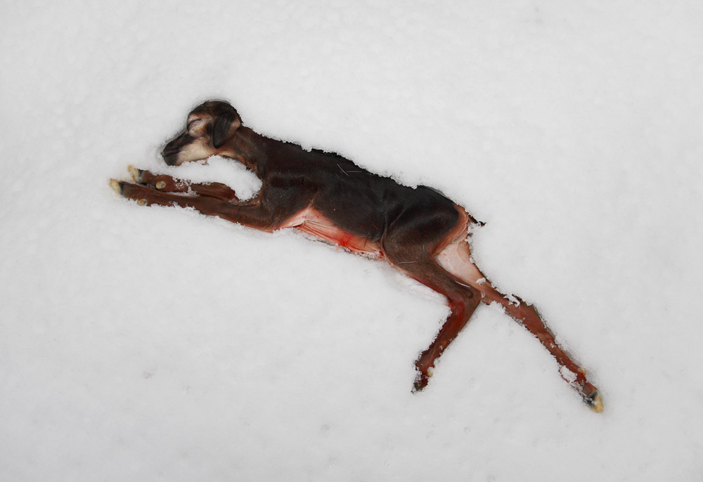 hunt moeflon foetus in snow