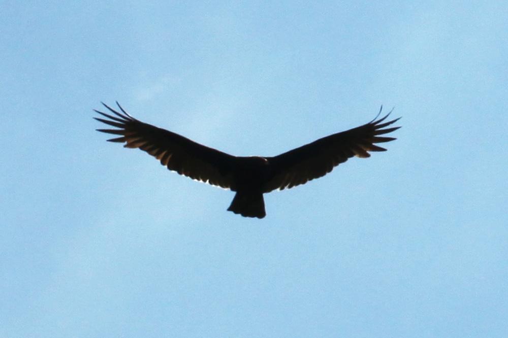 mississippi buzzard