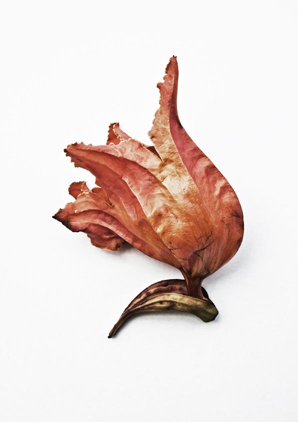 Flame—Spathodea Campanulata