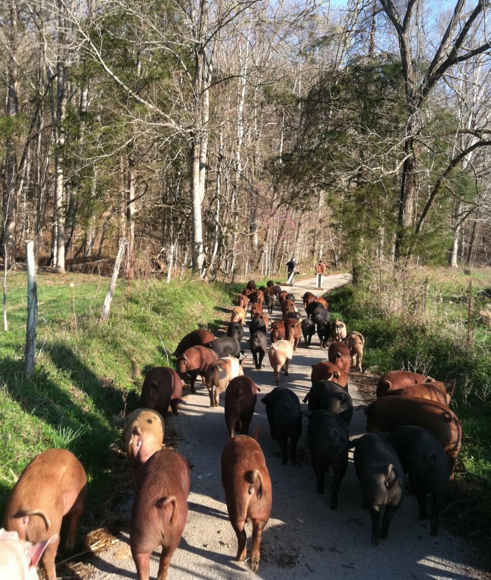 pig herding 057.JPG