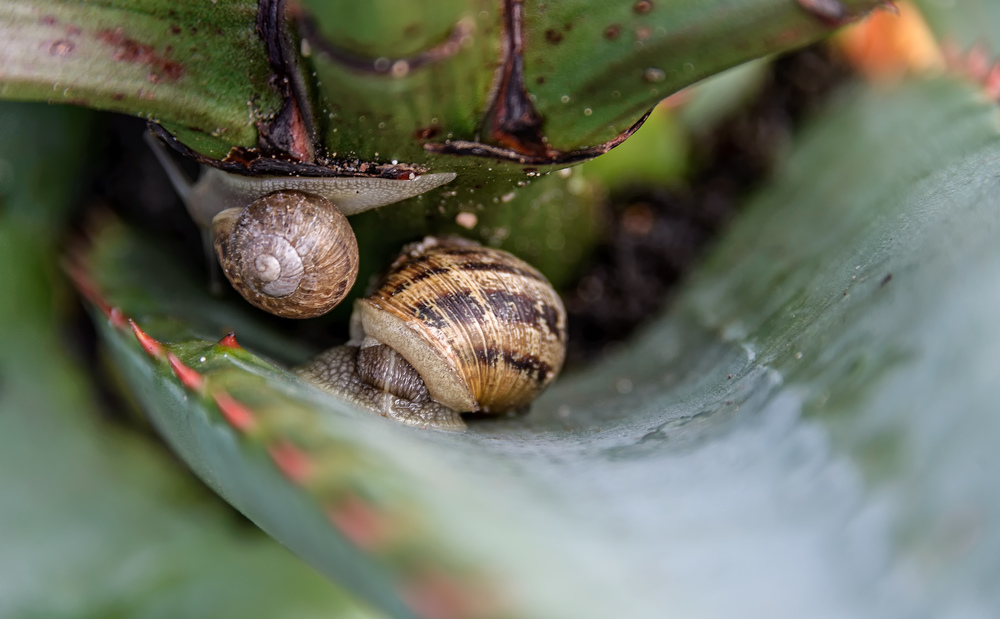 snails in aloe plant with NWM.jpg