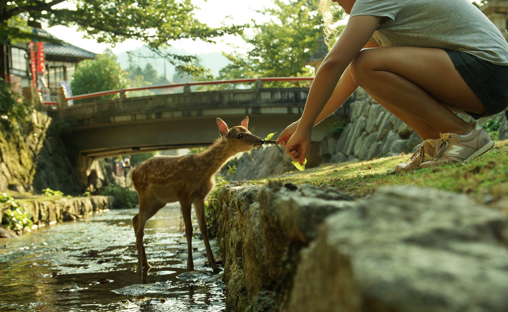 FEEDING BAMBIE - JAPAN  Feeding a baby deer on the island of Miyajima. The historic island, 20 minutes from Hiroshima city, is home to more than a thousand Sika deer that freely roam the streets.  #miajima #babydeer #japan