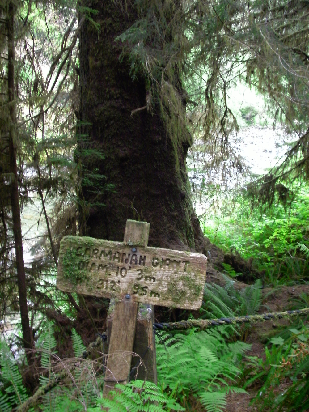 Carmanah Giant, Canada's tallest known tree, Carmanah Creek, BC