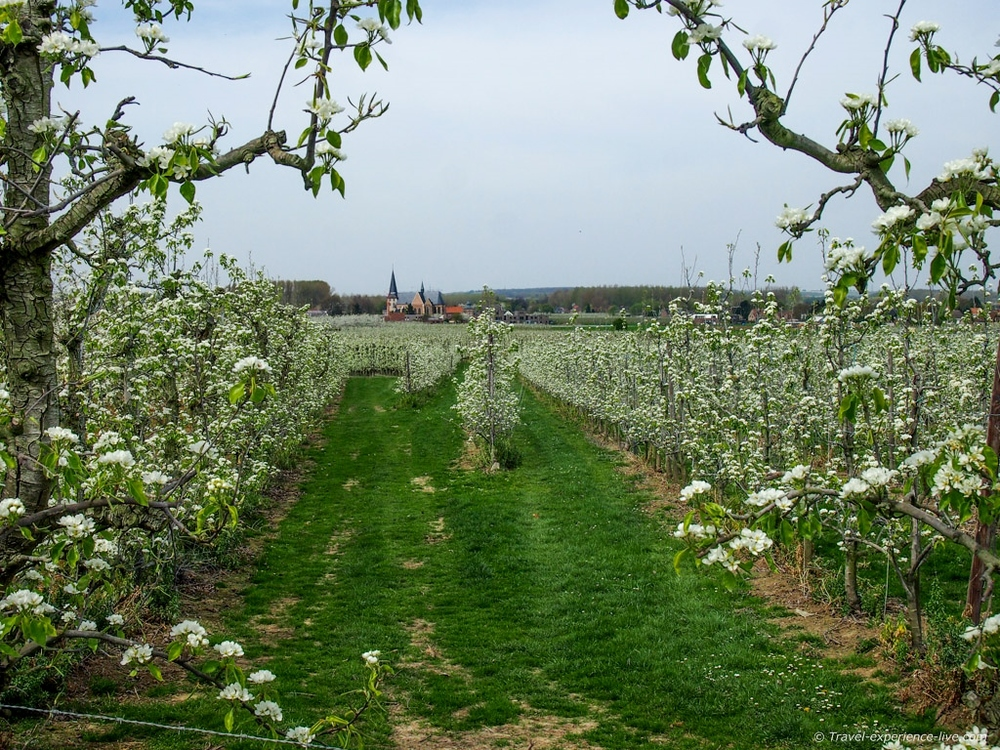 Blossoming fruit trees in the beautiful region of Haspengouw.