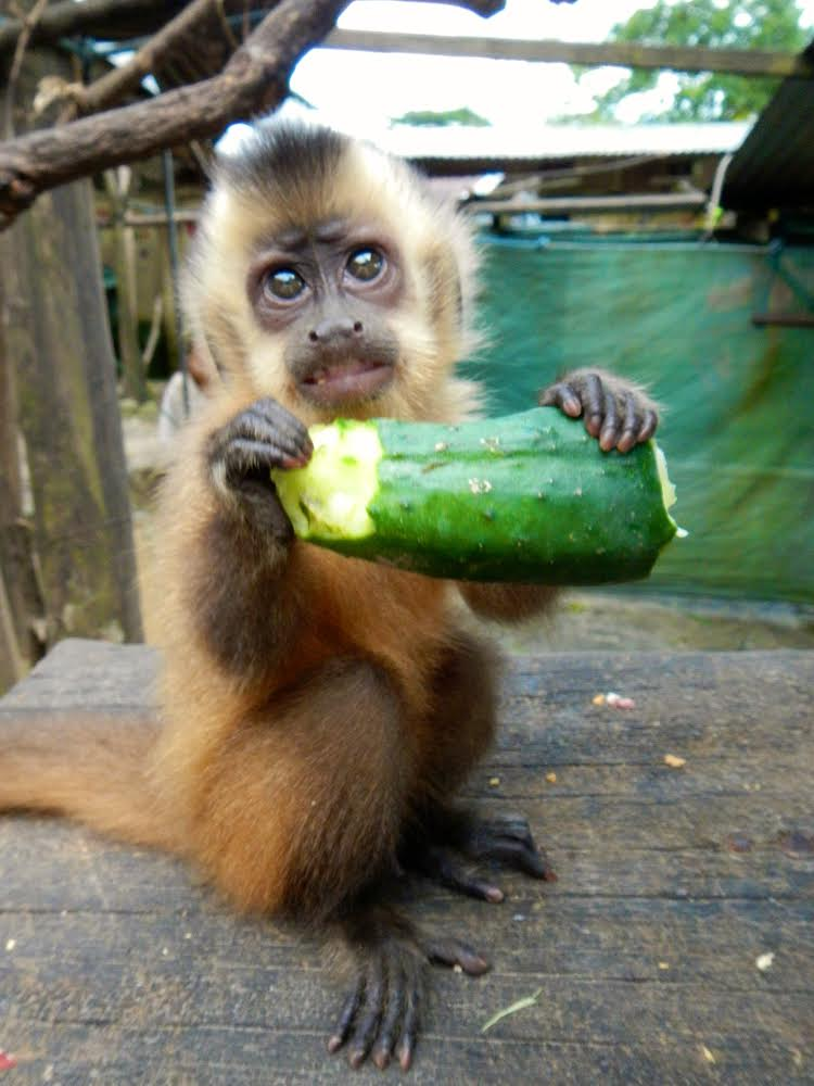 A baby capuchin, being cute