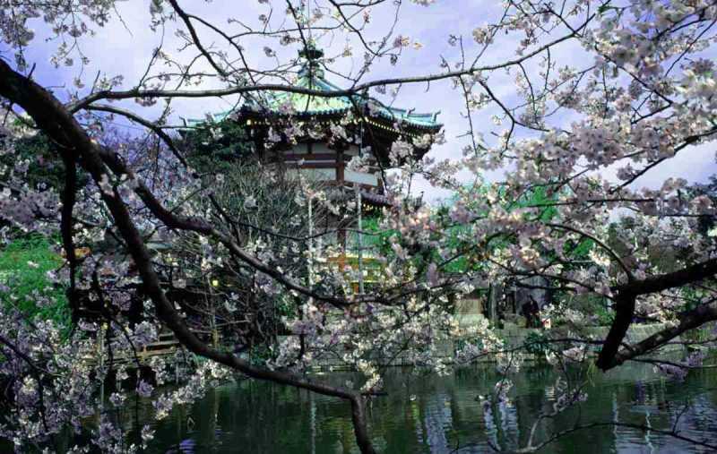 Ueno Blossoms.jpg