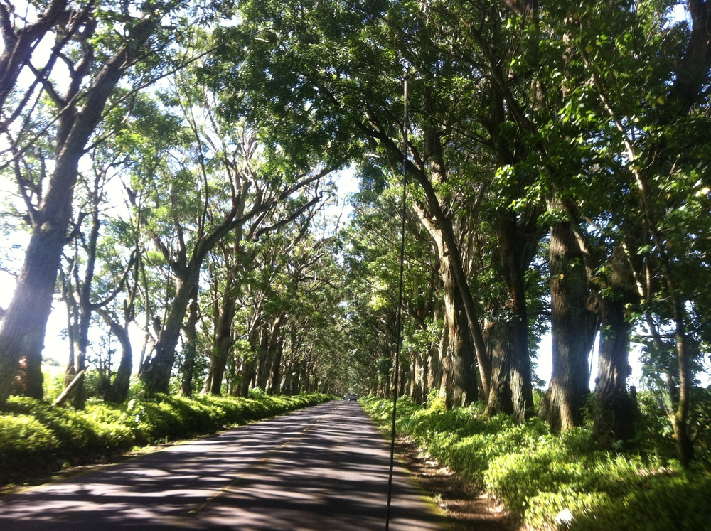 Tunnel of trees, Koloa, HI.