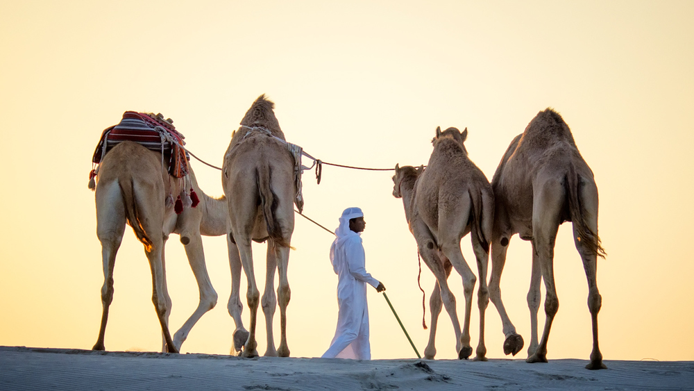 The very patient Ali and his camels...