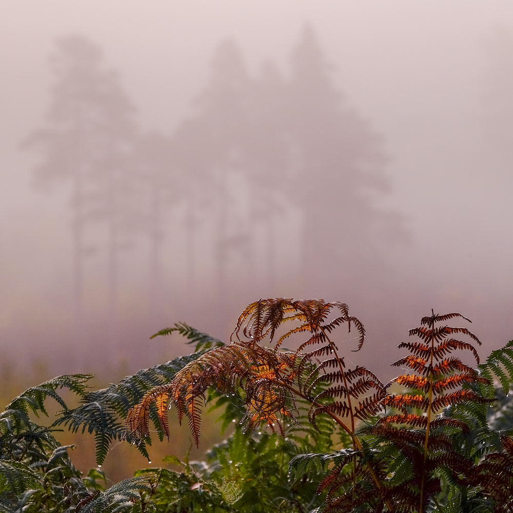 CLICK ON IMAGE TO ENLARGE Autumn Ferns , Dukes Pass, Trossachs