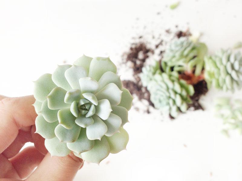 {GROW} Succulents ©hello harriet 2014