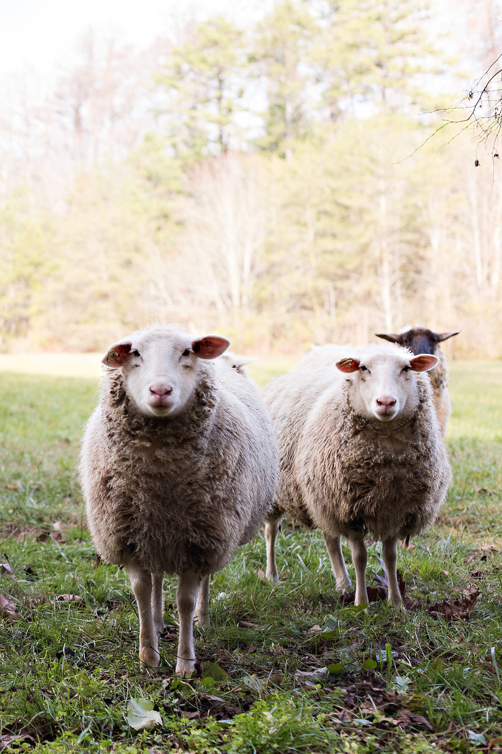 Sheep at Blackberry Farm // Nashville + Tennessee Wedding Floral Design