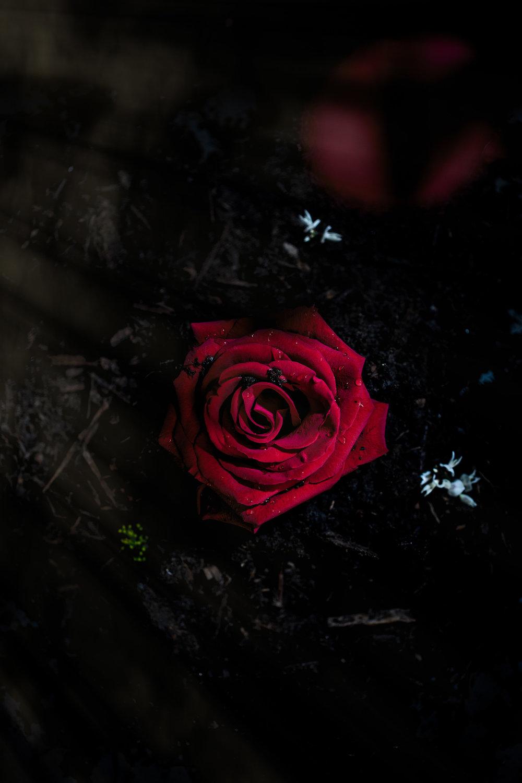 Roses -16-5-Edit.jpg