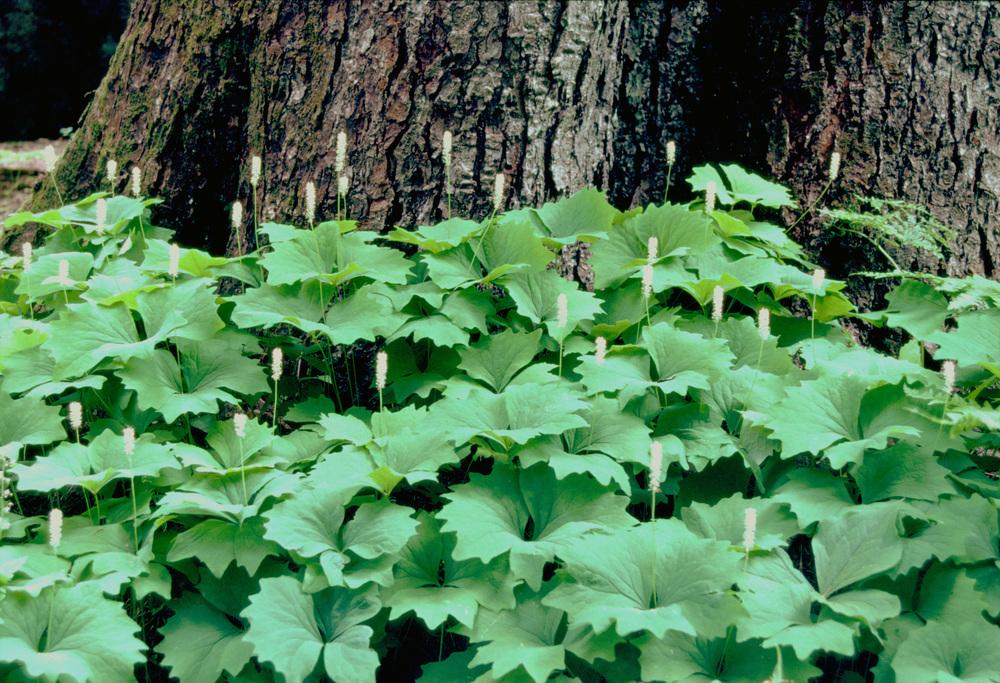 vanilla leaf.jpg