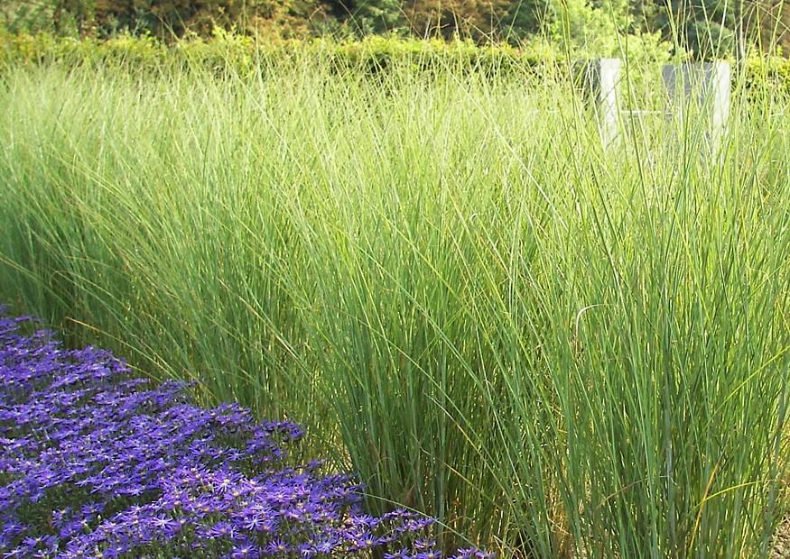 pflanzenbilder-miscahnthus-sinensis-gracillimus-poaceae-china-schilf-ziergras-2006.jpg