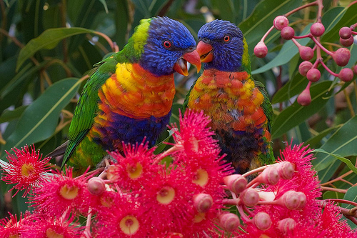 Google Birds.  Rainbow Lorikeets by Steven/cc
