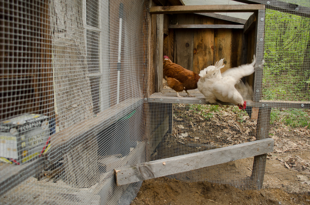 New Chicken Coop Run-8.jpg