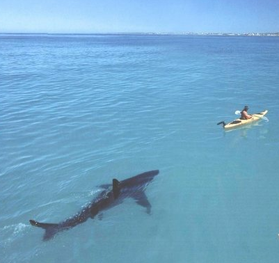http://www.hoax-slayer.com/shark-following-kayaker.shtml