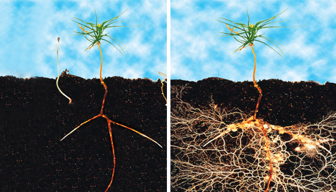 Note the abundance of root growth on the plant treated with a mycorrhizal inoculant vs. the control. Photo credit: world wide web