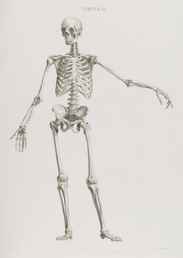Illustration_of_skeleton_standing_Wellcome_L0049507.jpg