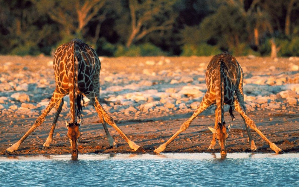 giraffe_drinking_water.jpg
