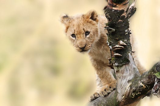 lion_cub.jpeg
