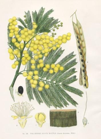 Acacia/Mimosa